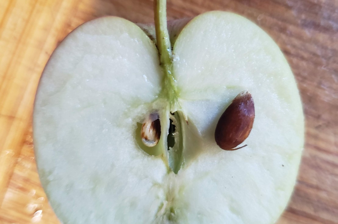 Week 5- Apple Seed